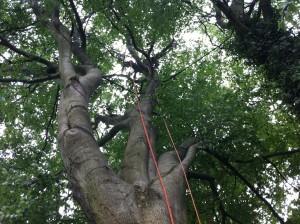 Niedenhoff Baumpflege Kronensicherung an Buche 2